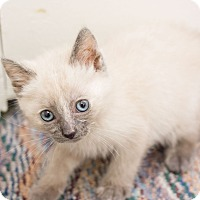 Adopt A Pet :: Angel II - Fountain Hills, AZ
