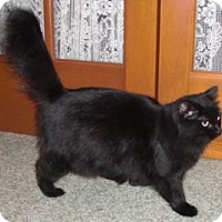 Domestic Longhair Cat for adoption in Chesterland, Ohio - Jasmine