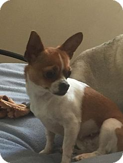 Chihuahua Dog for adoption in Mechanicsburg, Pennsylvania - Sara