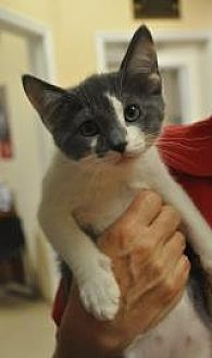Domestic Shorthair Kitten for adoption in Pompano Beach, Florida - Wisk