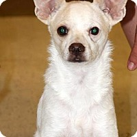 Terrier (Unknown Type, Medium) Mix Dog for adoption in Surprise, Arizona - Gizmo