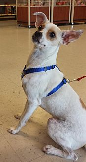 Jack Russell Terrier Mix Dog for adoption in Houston, Texas - JJ