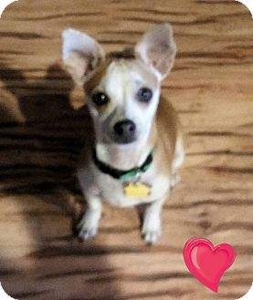Chihuahua/Toy Fox Terrier Mix Puppy for adoption in Victorville, California - Tanner
