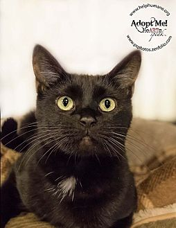 Domestic Shorthair Cat for adoption in Belton, Missouri - Natalya