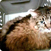 Maine Coon Cat for adoption in Conroe, Texas - A265685