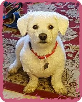 Bichon Frise Dog for adoption in Tulsa, Oklahoma - Sully - IL