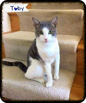 Domestic Shorthair Cat for adoption in Baltimore, Maryland - Toby (COURTESY POST)