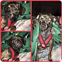 Adopt A Pet :: Carolina - greenville, SC