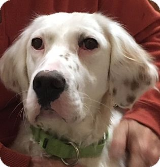 English Setter Dog for adoption in Pine Grove, Pennsylvania - RAYNA