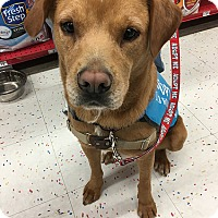 Labrador Retriever Dog for adoption in Purcellville, Virginia - Mikey