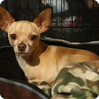Adopt A Pet :: Holly - York, PA