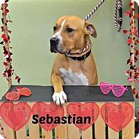 Adopt A Pet :: Sebastian - Elyria, OH