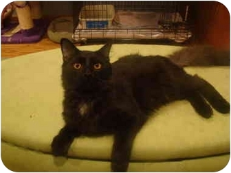 Domestic Longhair Cat for adoption in Muncie, Indiana - Alfonzo
