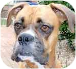 Boxer Mix Dog for adoption in Sunderland, Massachusetts - Daisy