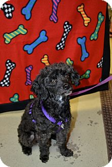 Poodle (Miniature) Mix Dog for adoption in Gig Harbor, Washington - Cindy