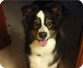 Australian Shepherd Dog for adoption in Elk River, Minnesota - Bella