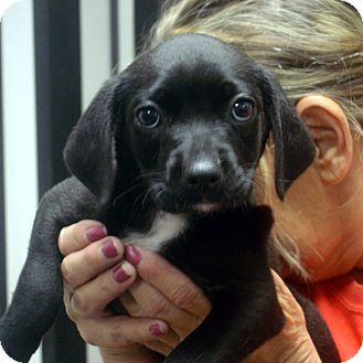 Labrador Retriever Mix Puppy for adoption in baltimore, Maryland - Ebony