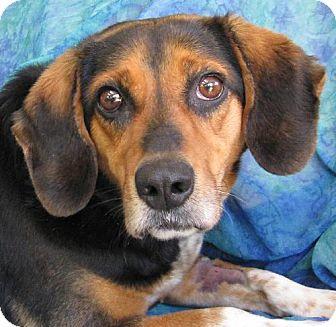 Beagle/Retriever (Unknown Type) Mix Dog for adoption in Cuba, New York - Loretta Lynn