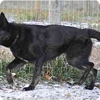 Adopt A Pet :: Cinder - Hamilton, MT