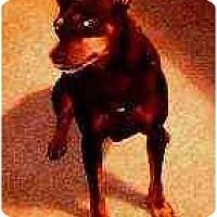 Adopt A Pet :: Maxwell - Florissant, MO