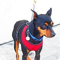 Adopt A Pet :: jaxs - Culver City, CA