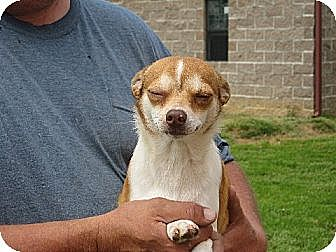 Chihuahua Dog for adoption in Allentown, Pennsylvania - Peppers