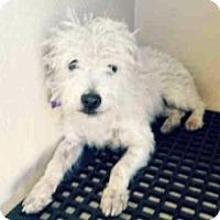 Adopt A Pet :: Alfie - San Antonio, TX