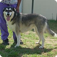 Adopt A Pet :: Nanook - Manning, SC