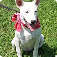 Adopt A Pet :: Dingo - Allentown, PA