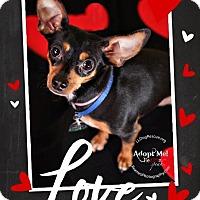 Adopt A Pet :: Joey - Shawnee Mission, KS
