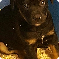 Adopt A Pet :: GRACE LITTER BLACK/TAN - Pompton Lakes, NJ