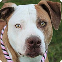 Adopt A Pet :: MONA-Low Fees, Spa/Chipped - Red Bluff, CA