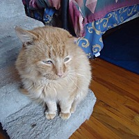 Domestic Mediumhair Cat for adoption in Central Islip, New York - Tangerine