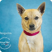Shiba Inu Mix Dog for adoption in Phoenix, Arizona - Chiquita
