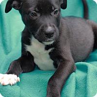 Adopt A Pet :: Jackson - Waldorf, MD