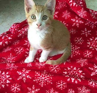 Domestic Mediumhair Cat for adoption in St. Cloud, Florida - Tango & Merlo
