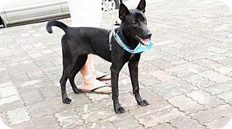 Basenji Mix Dog for adoption in Vancouver, British Columbia - Han Bao
