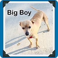 Adopt A Pet :: Big Boy Chi - Shawnee Mission, KS