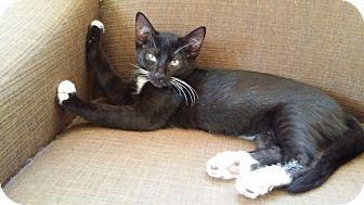 American Shorthair Kitten for adoption in Cerritos, California - Mr. Magee