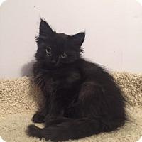 Adopt A Pet :: Olive - Incline Village, NV
