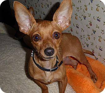 Chihuahua Mix Dog for adoption in San Diego, California - Tula