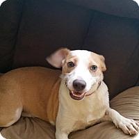 Adopt A Pet :: Charma - Loveland, OH