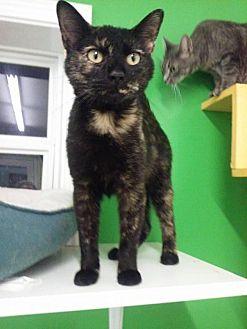 Domestic Shorthair Cat for adoption in McKenzie, Tennessee - PHOENIX