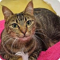 Domestic Shorthair Cat for adoption in Naperville, Illinois - Isabella-CURIOUS & CUDDLY