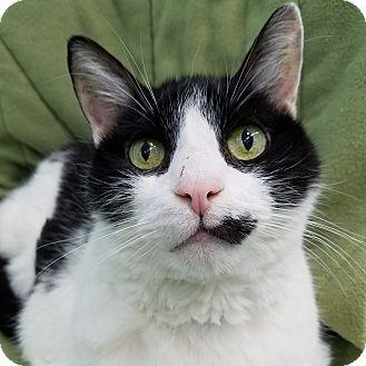 Domestic Shorthair Cat for adoption in Wheaton, Illinois - P.J.