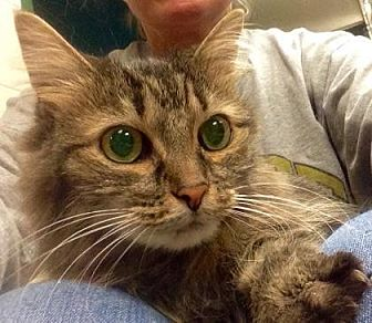 Domestic Longhair Cat for adoption in Anderson, Indiana - Gidget
