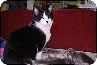 Domestic Shorthair Cat for adoption in Dale City, Virginia - Sylvester