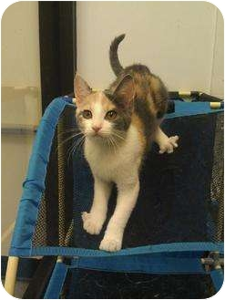 Domestic Shorthair Cat for adoption in Greenville, South Carolina - Chilli