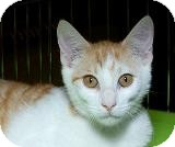 Domestic Shorthair Cat for adoption in Sacramento, California - Nelson M
