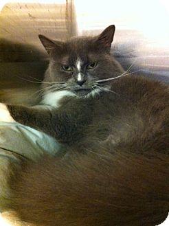 Turkish Angora Cat for adoption in Pittstown, New Jersey - Farrah